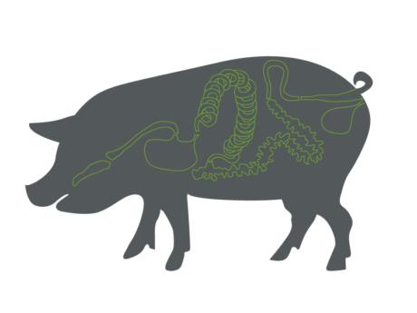 DIF | Schwein mit Darm Infografik